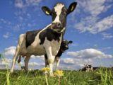 intensieve veehouderij klein